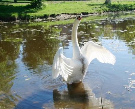 swan warning goose standing