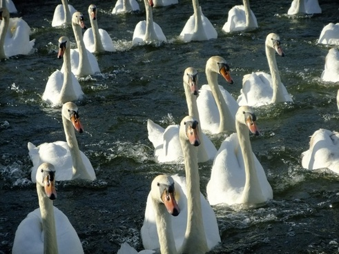 swan waterfowl river