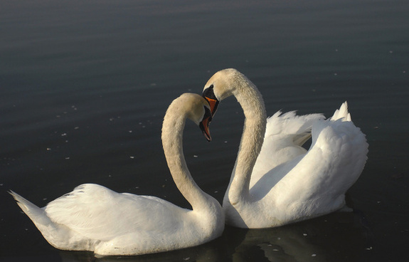 swans love amp tenderness