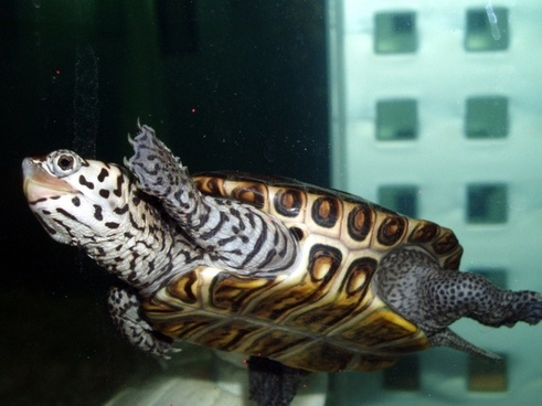 swimming diamond back terrapin