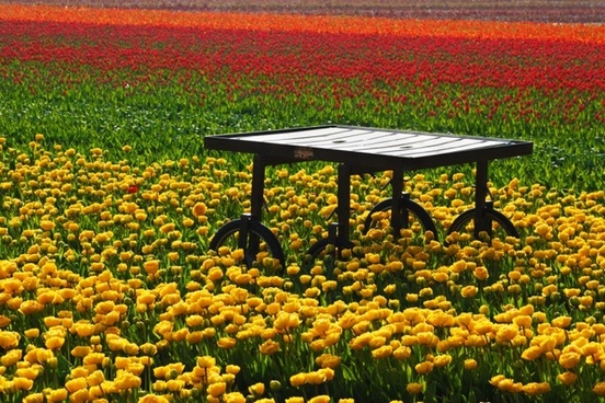 table in tulip field