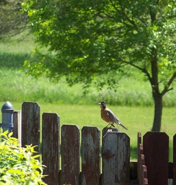 talkative robin on fence