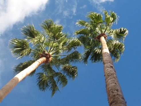 tall fan palms