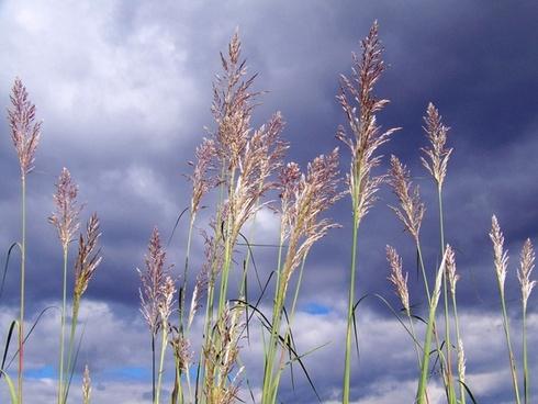 tall grass clouds