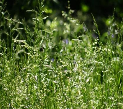 tall grass seeds