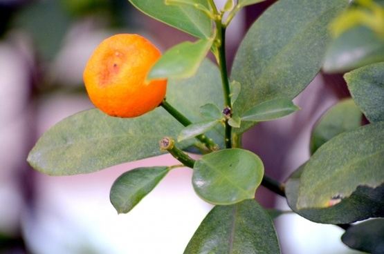 tangerine tree 1a