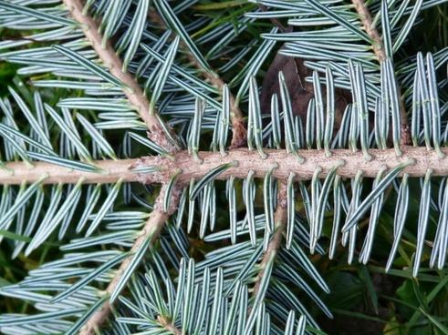 tannenzweig pine needles fir