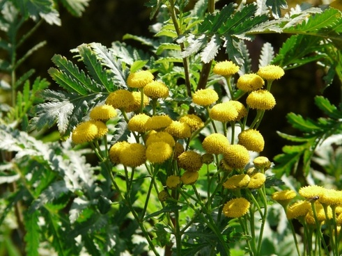 tansy flower persicaria