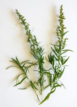 tarragon spice herbs