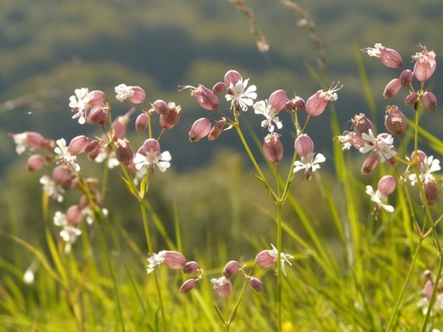 taubenkropf-leimkraut pointed flower silene vulgaris