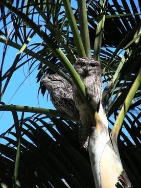 tawny frogmouth frogmouth birds birds