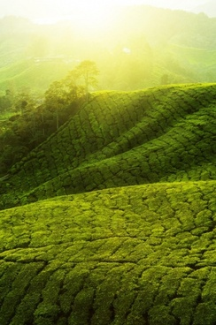 tea garden landscape hd pictures