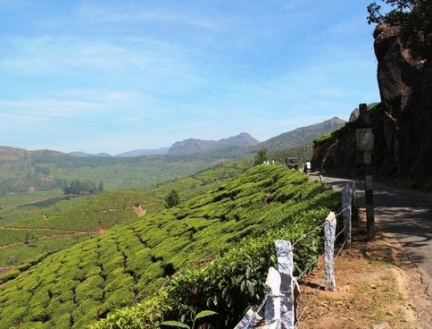 tea plantation tea cultivation india