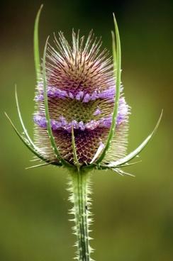 teasel plant flower