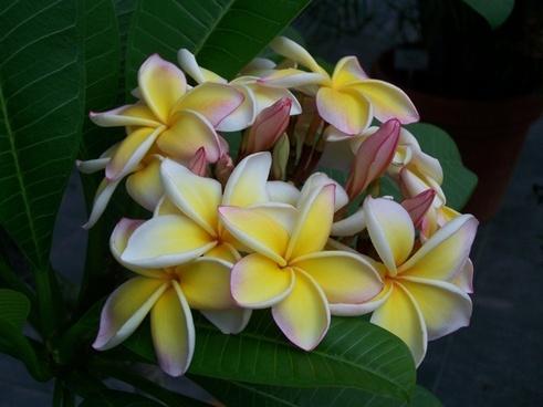 temple tree flower nature