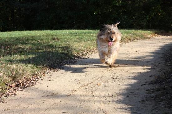 terrier dog animal