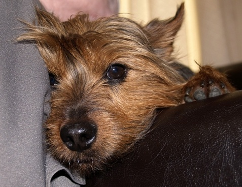 terrier dog canine