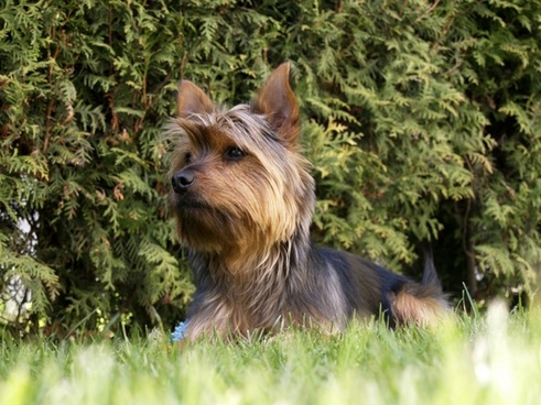 terrier dog small