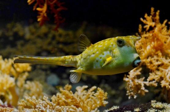 tetraodontidae blowfish