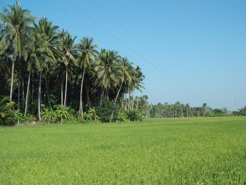 thailand paddy landscape