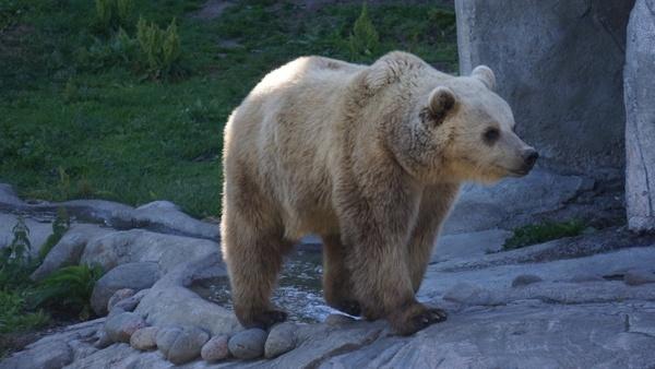 the bear the brown bear ursus arctos