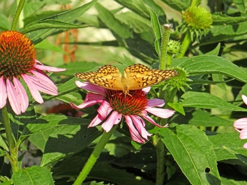 the butterfly and the coneflower