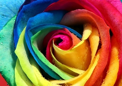 the color of roses closeup picture