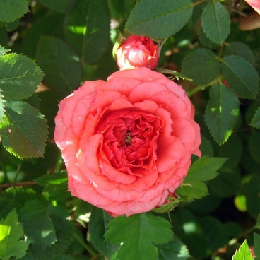 the coral mini rose