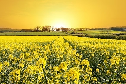 the dusk rape field picture