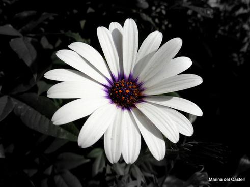 the fragant daisy