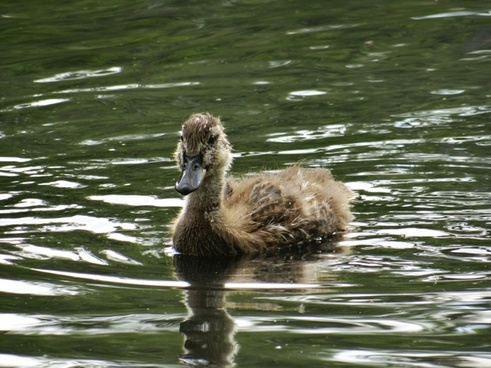 the fuzzy little duckling
