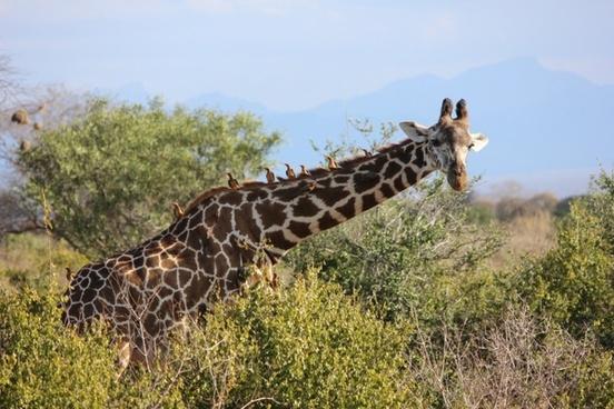 the giraffe tsavo safari