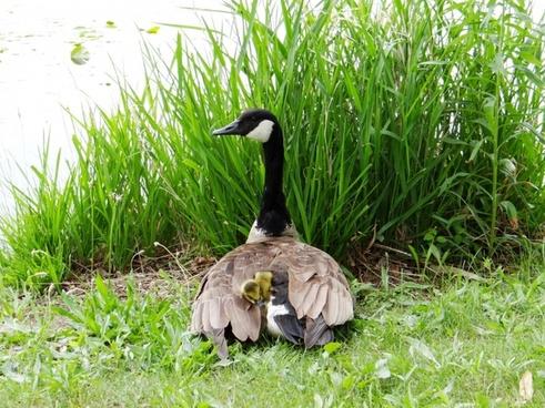the goslings