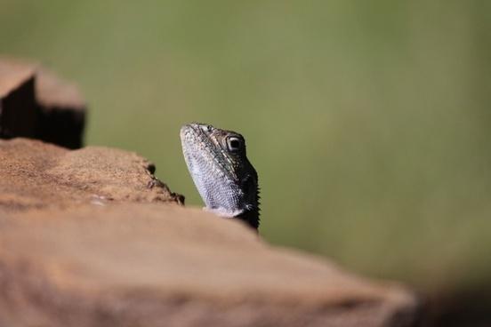 the lizard the reptile tsavo
