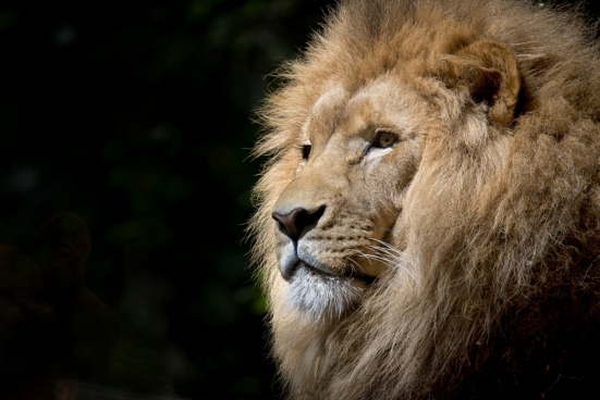 the mighty lion