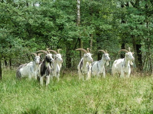 the netherlands landscape goats