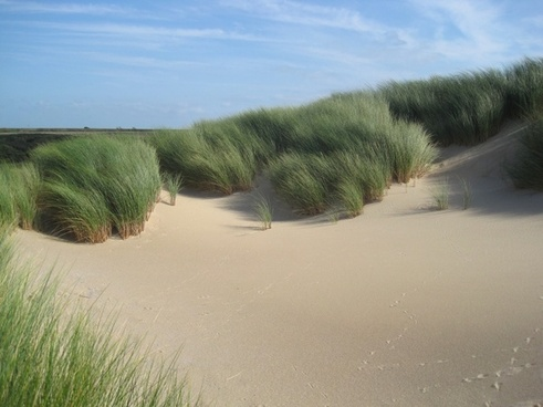 the netherlands marram grass plants