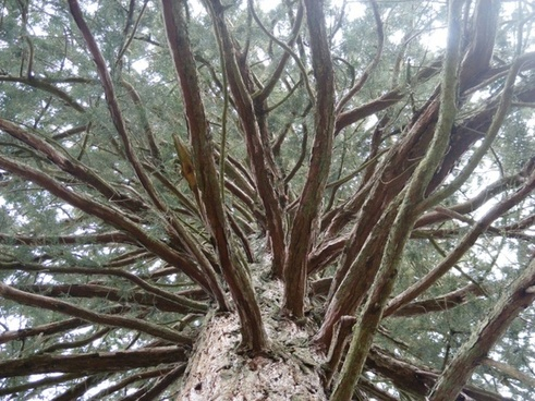 the sierra redwood