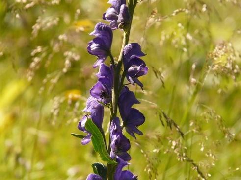 thimble wild flower meadow
