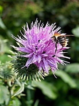thistle bumblebee flower macro