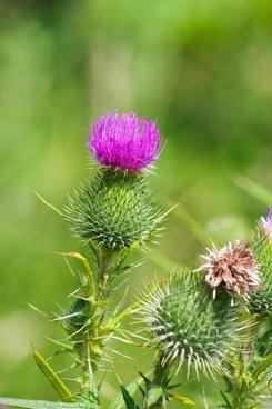 thistle field thistle wildflower