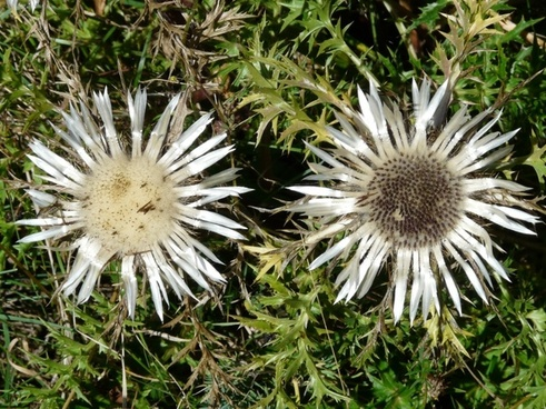 thistle silver thistle carlina acaulis