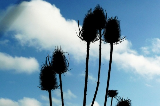 thistles and blue sky