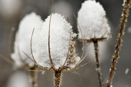 thistles teasles snow