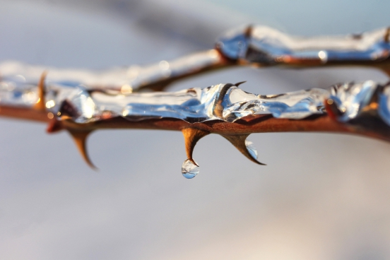 closeup of morning dew on branch thorns