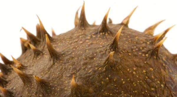thorn conker