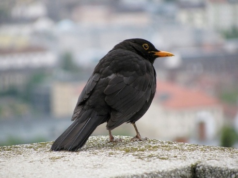 thrush black bird