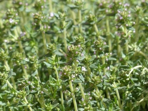 thyme flower kitchen herb