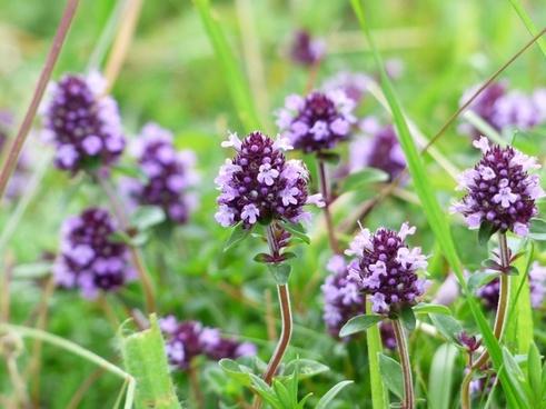 thyme flower violet