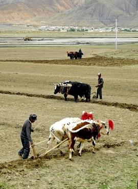 tibet men working